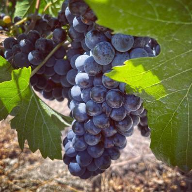 Clos des Amis estate Pinot Noir late July 2021